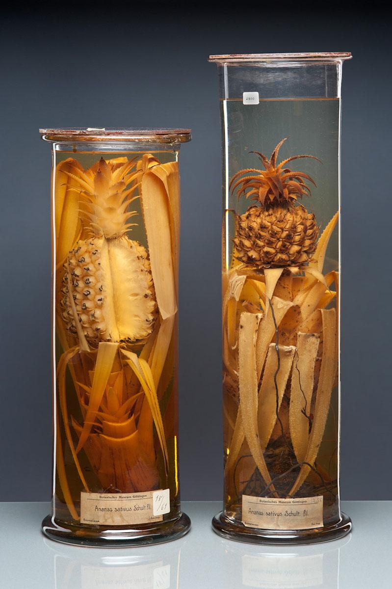Dinge des Wissens - Ananas, botanisches Lehrpräparat